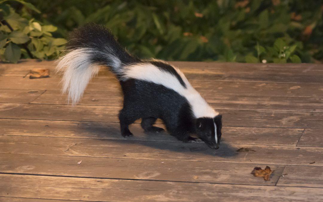 Skunk Cam!